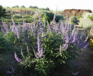 Agnus Castus remedio homeopatico