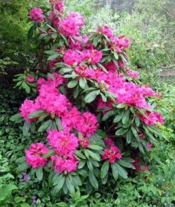 rhododendron es un remedio homeopatico y homeopatia